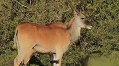 Eland walking through Fynbos Stock Footage