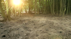 Red mangrove crabs emerging from their burrows in the sand at sunset. Mangrove Stock Footage