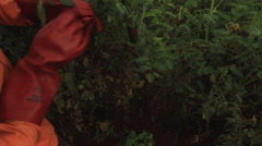 Camera following the movement of two farm workers in orange overalls stringing Stock Footage