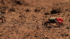 Medium-shot of a fiddler crab gathering food on the salt pan. Stock Footage