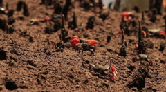 Wide-shot of fiddler crabs gathering food on the salt pan. Stock Footage