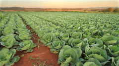 Slow Zoom in to a field of Cabbage HDR Stock Footage