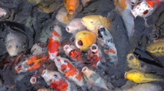 Close up shot of hungry Japanese koi carp in a pond waiting to be fed Stock Footage