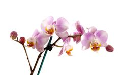 Stock Photo of Stem of pink orchid.