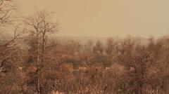 Wide-shot of impala herd walking through bushhes. Camera swish-pan to a large Stock Footage