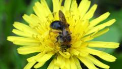 Honey bee is collecting pollen from a dandelion. Stock Footage