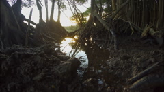 Low angle of Mangrove tree roots in muddy surface of Mangrove swamps at low Stock Footage