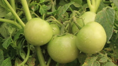 Close-up of green tomato plant. Black hand comes into frame and picks tomato. Stock Footage