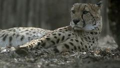 Cheetah having rest Stock Footage