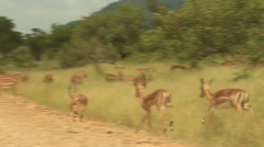 Impalas running onto Dirt Road shaky SLOMO (we film with permission inside - stock footage