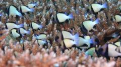 Underwater indian dascyllus coral reef Stock Footage