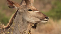 Stock Video Footage of Kudu Bull eating 01 (we film with permission inside National Parks, contact us