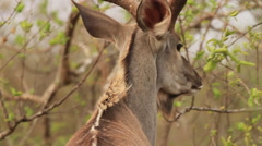 Stock Video Footage of Kudu Bull eating LONG but nice (we film with permission inside National Parks,