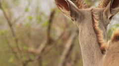 Kudu Bull walking away artistic shot (we film with permission inside National - stock footage