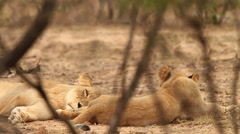 Lioness resting behind foliage, eye open though (we film with permission inside - stock footage