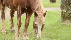 Draft horse grazing - stock footage