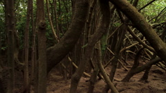 Mangrove Swamps Pan Across Branches Stock Footage