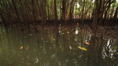 Mangrove Swamps Slow Tracking Shot 02 Stock Footage