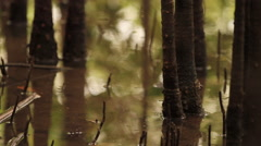 Mangrove Swamps Tilt up Trees Stock Footage