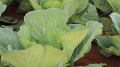 Move up Row of Cabbages Growing - stock footage