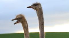Ostrich Necks in Slow Motion Stock Footage