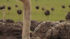Ostriches Running Towards Camera Rack Focus SloMo Stock Footage