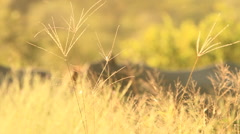 Rack Focus Rhinos in Yellow Long Grass SLOMO (we film with permission inside Stock Footage