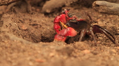 Red Mangrove Crab stealing bits of Leaf from Burrow SLOMO - stock footage