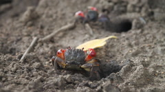 Red Mangrove Crab takes Yellow Leaf into Burrow - stock footage