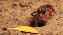 Red Mangrove Crabgrabbiing Yellow Leaf ng SLOMO - stock footage
