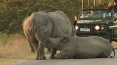 Rhino baby suckling in front of Tourists 02 (we film with permission inside - stock footage