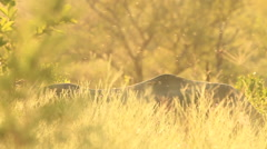 Rhino back with flies overhead in yellow light SLOMO (we film with permission Stock Footage