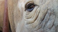 Rhino captive Looking at Cam SloMo 02 (we film with permission inside National Stock Footage