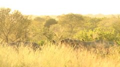 Rhinos in long yellow grass WS SLOMO (we film with permission inside National - stock footage