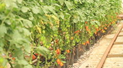 Row of Plum Tomatoes inside Greenhouse Stock Footage