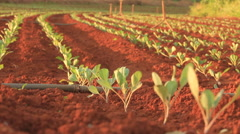 Rows of Seedlings in Red Rich Soil Stock Footage