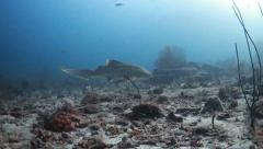 Leopard shark underwater Stock Footage