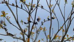 Flock of Hyperactive Tree Swallows, Hanging out and Having Fun Stock Footage