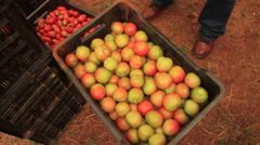 Tomato Crates being offloaded Stock Footage