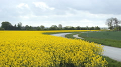 Road rapeseed oil field and traffic cars  Stock Footage