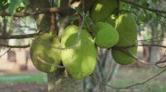 Jack fruit Stock Footage