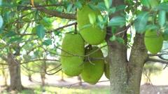 Jack fruit wide Stock Footage