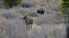2 Moose GRAZING Stock Footage