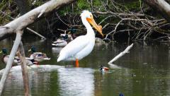 Big White Pelican Feels Accepted Among Mallard Ducks Stock Footage
