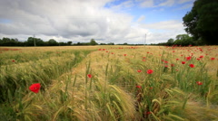 Wheat Field and Poppies with Clouds Stock Footage