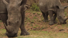 Stock Video Footage of White Rhinos grazing close to the road MS02 (we film with permission inside