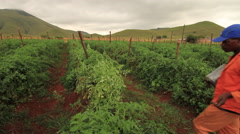 WS Rural Farmers maintaining Tomato Plants getting closer Stock Footage