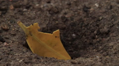 Yellow Leaf Slowly Being Taken into Burrow CU Stock Footage