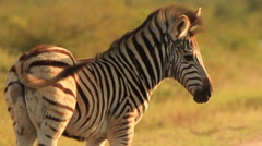 Zebra Baby in Golden Light with Wind Blowing Mane in SLOMO (we film with - stock footage