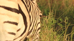Zebra eating Side On in SLOMO (we film with permission inside National Parks, Stock Footage